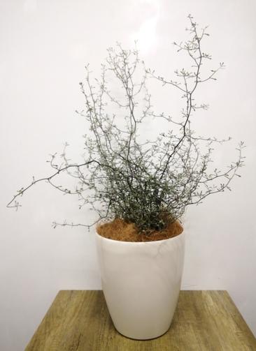 観葉植物 【75cm】コロキア コトネアスター 6号 #23564