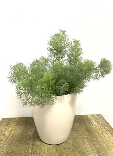 観葉植物 【45cm】ウーリーブッシュ 5号 #23485 ラスターポット付き