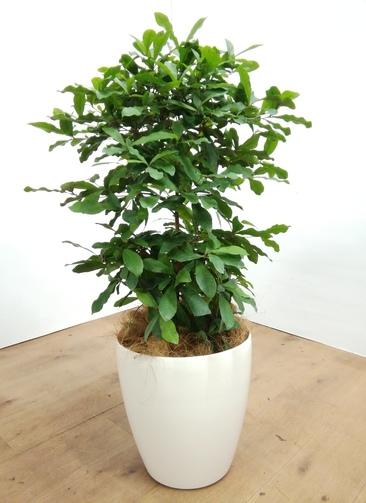 観葉植物   【80cm】 ミラクルフルーツ8号 #23486 ラスターポット付き