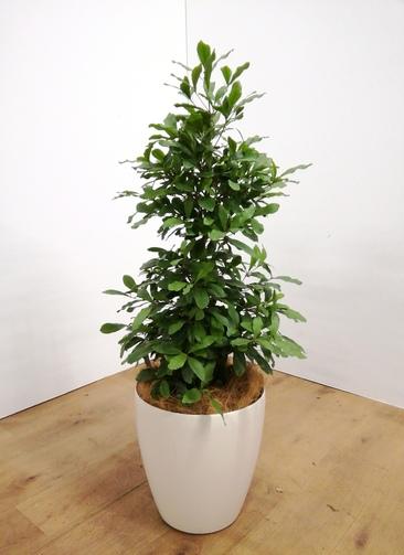 観葉植物 【90cm】 ミラクルフルーツ8号 #23487 ラスターポット付き