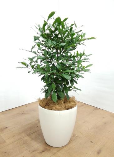 観葉植物   【80cm】 ミラクルフルーツ8号 #23488 ラスターポット付き