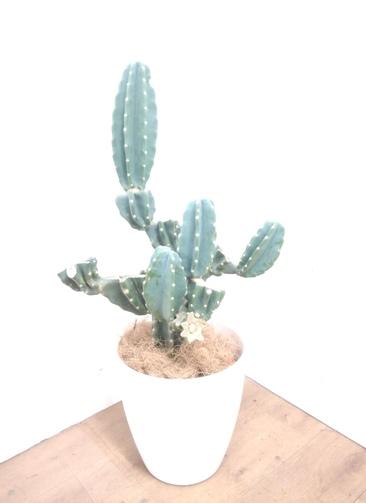 観葉植物 柱サボテン 【95cm】 柱サボテン 8号 #23385 ラスターポット付き