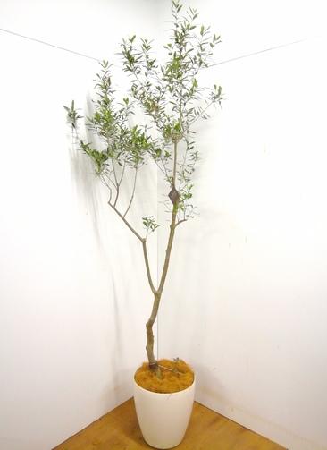 観葉植物 オリーブの木 【240cm】 オリーブの木 チプレッシーノ10号 #23373 ※1都3県配送限定商品 ラスターポット付き