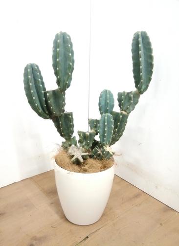 観葉植物 柱サボテン 【90cm】 柱サボテン 8号 #23379 ラスターポット付き
