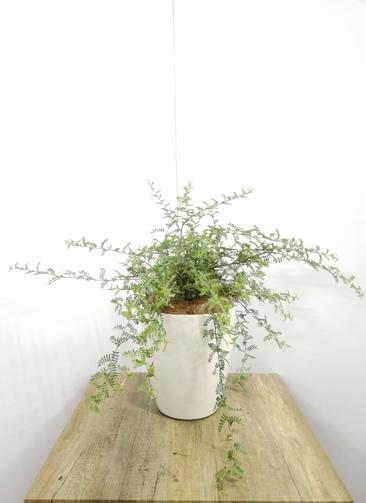 観葉植物 【55cm】天皇梅 6号 #23582