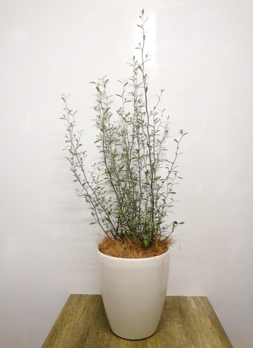 観葉植物 【95cm】コロキアオリーブリーフ 6号 #23568 ラスターポット付き