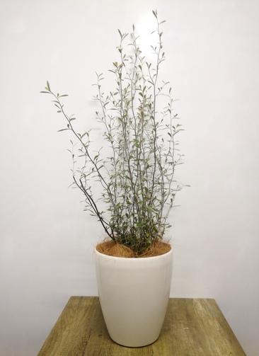 観葉植物 【95cm】 コロキアオリーブリーフ6号 #23571  ラスターポット付き