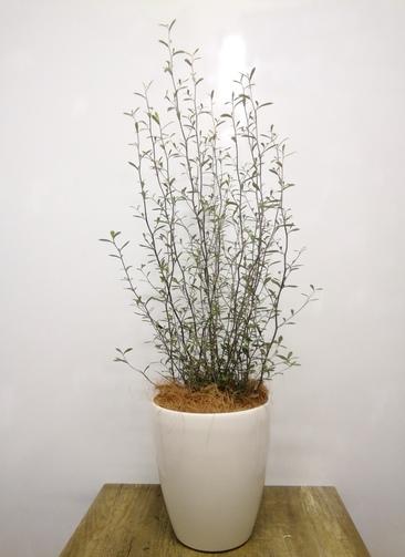 観葉植物 【95cm】 コロキアオリーブリーフ6号 #23575 ラスターポット付き