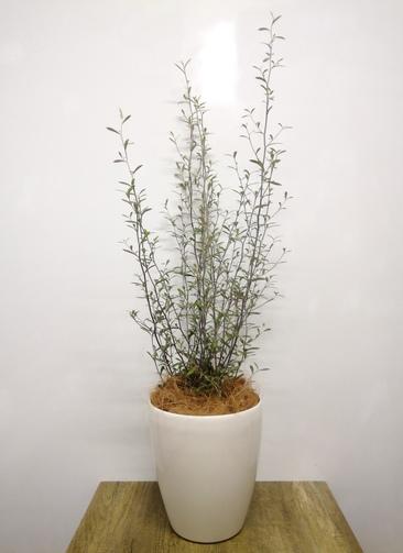 観葉植物   【96cm】 コロキアオリーブリーフ6号 #23578 ラスターポット付き
