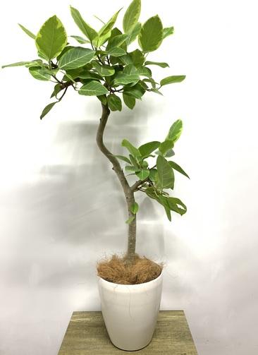 観葉植物 フィカス アルテシーマ 【135cm】 フィカス アルテシーマ 7号 #23602 ラスターポット付き