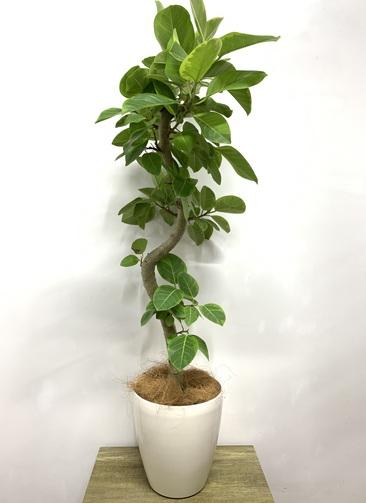 観葉植物 フィカス アルテシーマ 【135cm】 フィカス アルテシーマ 7号 #23600 ラスターポット付き