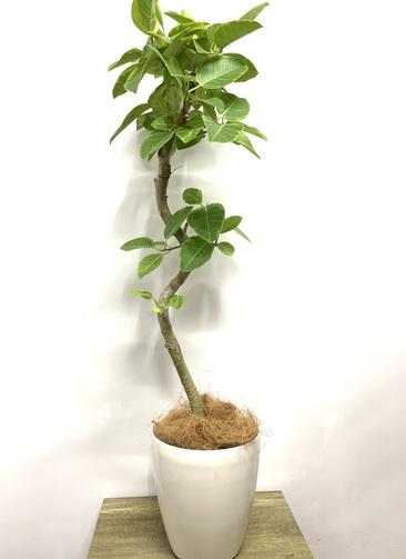 観葉植物 フィカス アルテシーマ 【135cm】 フィカス アルテシーマ 7号 #23597 ラスターポット付き
