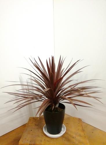 観葉植物   【80cm】コルジリネレッドスター 8号 #23603  ラスターポット付き