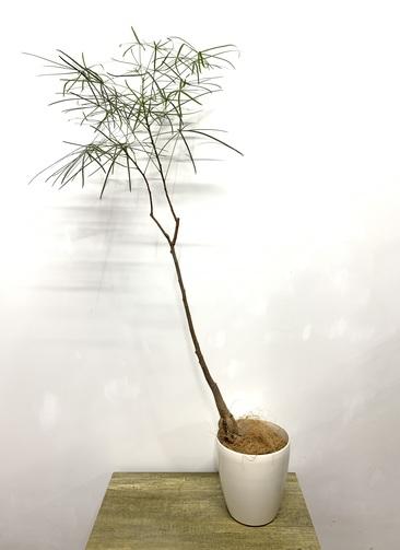 観葉植物 ボトルツリー 【115cm】 ボトルツリー 6号 #23606 ラスターポット付き