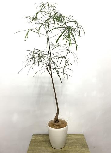 観葉植物 ボトルツリー 【115cm】 ボトルツリー 6号 #23605 ラスターポット付き