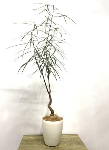 観葉植物 ボトルツリー 【110cm】 ボトルツリー 6号 #23604 ラスターポット付き