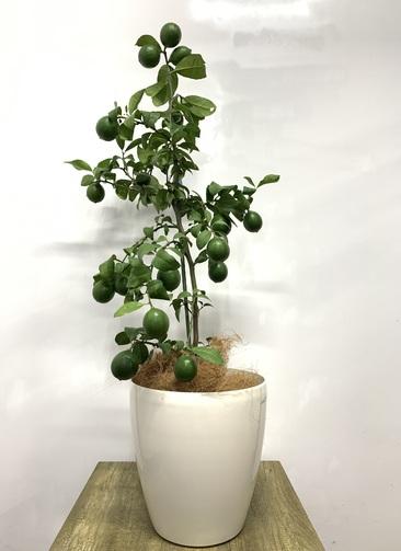 レモンの木 【120cm】マイヤーレモン 8号 #23640 ラスターポット付き