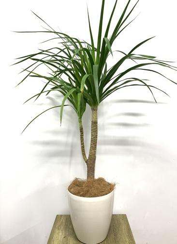 観葉植物 ドラセナ カンボジアーナ 【135cm】 ドラセナ カンボジアーナ 8号 #23643 ラスターポット付き