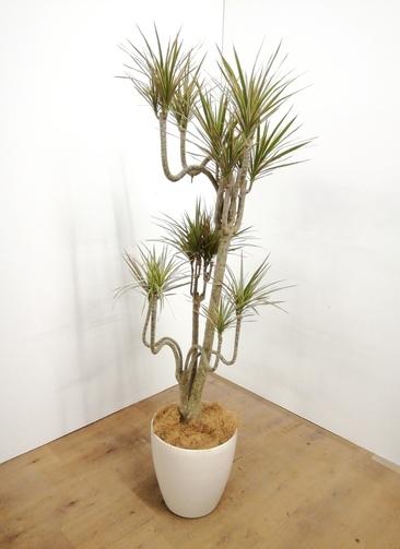 観葉植物 【150cm】 ドラセナ コンシンネ 8号 #23682
