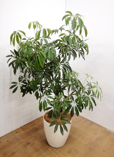 観葉植物 【160cm】 カポック(シェフレラ) 10号 #23683 ※1都3県配送限定商品