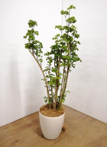 観葉植物 【140cm】 ポリシャス 8号 #23684