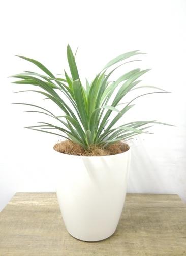 観葉植物 【35cm】 ユッカ 5号 #23686