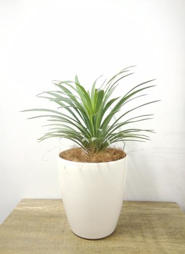観葉植物 【38cm】 ユッカ 5号 #23687