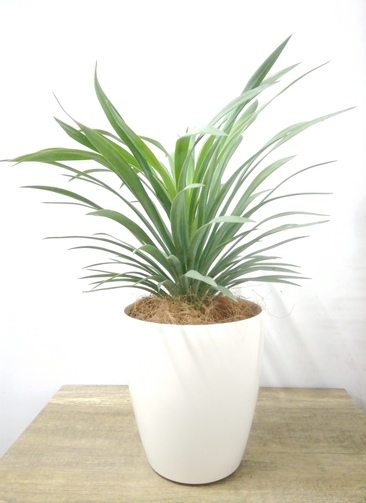 観葉植物 【45cm】 ユッカ 5号 #23688