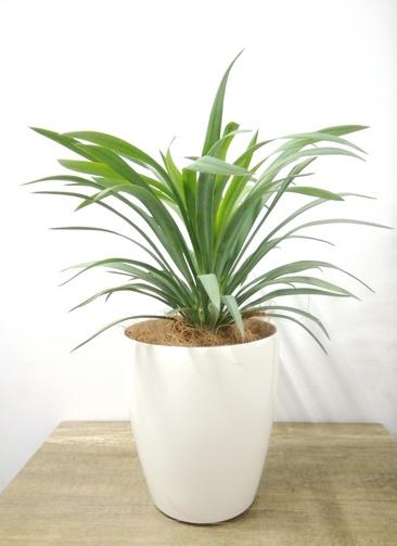 観葉植物 【40cm】 ユッカ 5号 #23689