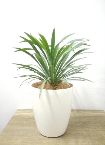 観葉植物 【36cm】 ユッカ 5号 #23690