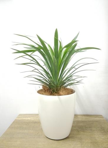 観葉植物 【40cm】 ユッカ 5号 #23691