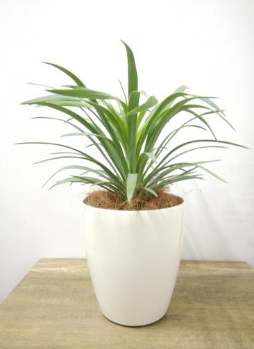 観葉植物 【37cm】 ユッカ 5号 #23692