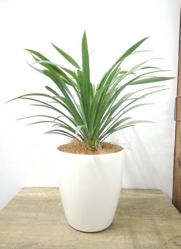 観葉植物 【40cm】 ユッカ 5号 #23693