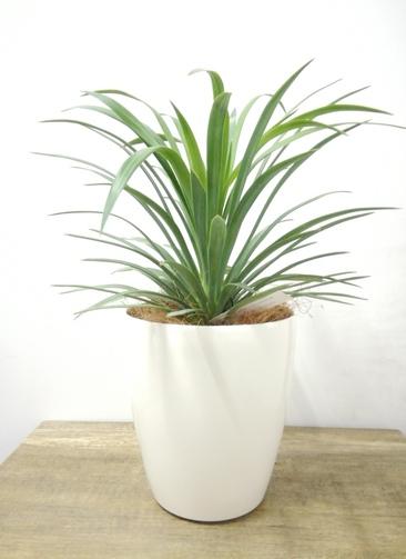 観葉植物 【40cm】 ユッカ 5号 #23694