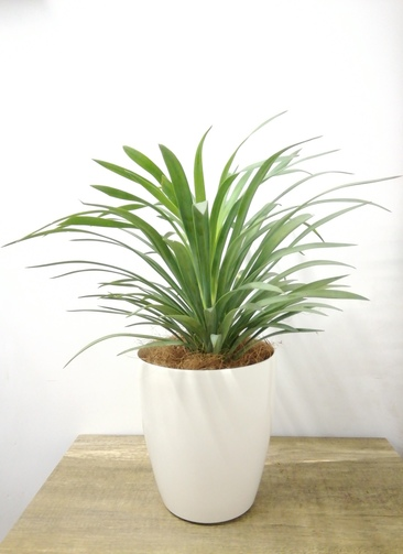 観葉植物 【43cm】 ユッカ 5号 #23695