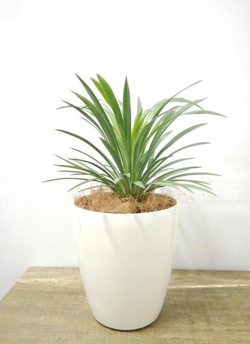 観葉植物 【37cm】 ユッカ 5号 #23696
