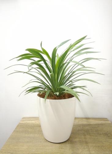 観葉植物 【40cm】 ユッカ 5号 #23697