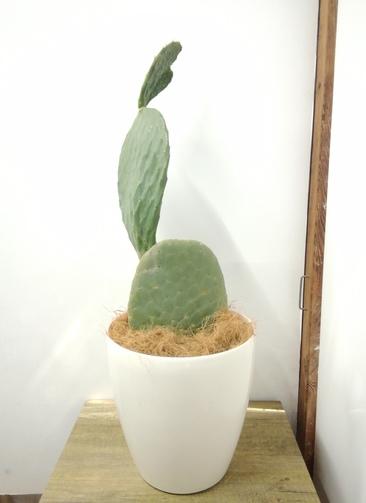 観葉植物 【90cm】 ウチワサボテン 8号 #23699