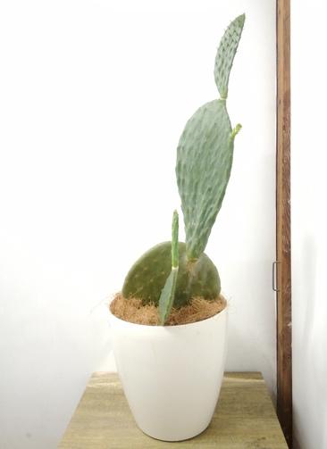 観葉植物 【94cm】 ウチワサボテン 8号 #23700