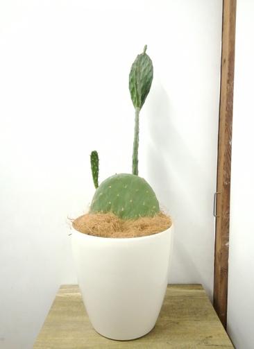 観葉植物 【84cm】 ウチワサボテン 8号 #23701