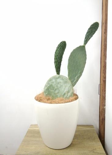 観葉植物 【80cm】 ウチワサボテン 8号 #23702