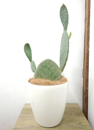 観葉植物 【83cm】 ウチワサボテン 8号 #23703