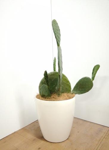 観葉植物 ウチワサボテン 【75cm】 ウチワサボテン 8号 #23656 ラスターポット付き