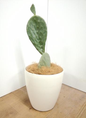 観葉植物 ウチワサボテン 【76cm】 ウチワサボテン 8号 #23657 ラスターポット付き