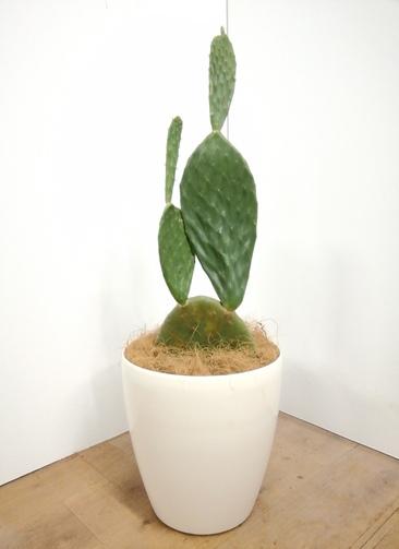 観葉植物 ウチワサボテン 【86cm】 ウチワサボテン 8号 #23658 ラスターポット付き