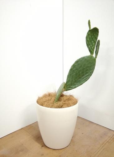 観葉植物 ウチワサボテン 【81cm】 ウチワサボテン 8号 #23659 ラスターポット付き