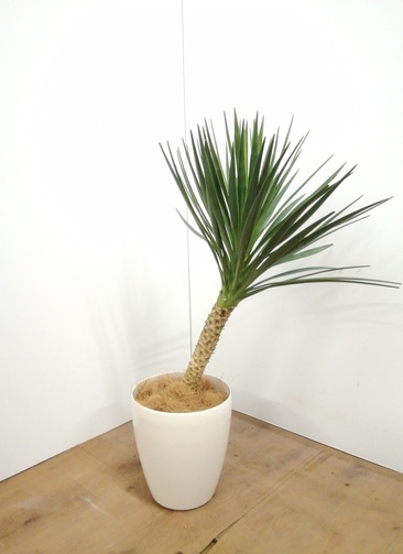 観葉植物 ユッカ 【100cm】 ユッカ センジュラン(アロイフォリア) 7号 #23671 ラスターポット付き