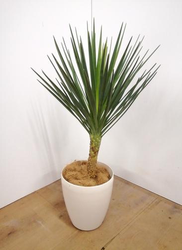観葉植物 ユッカ 【90cm】 ユッカ センジュラン(アロイフォリア) 7号 #23672 ラスターポット付き