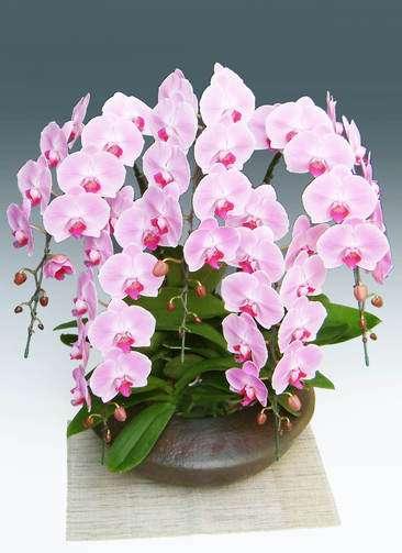 胡蝶蘭大輪 ピンク 5本立ち 和鉢まどか(敷物付き)