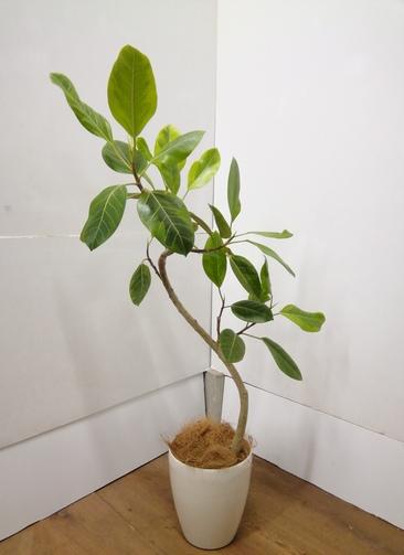 観葉植物 【110cm】 フィカス アルテシーマ 6号 #23841